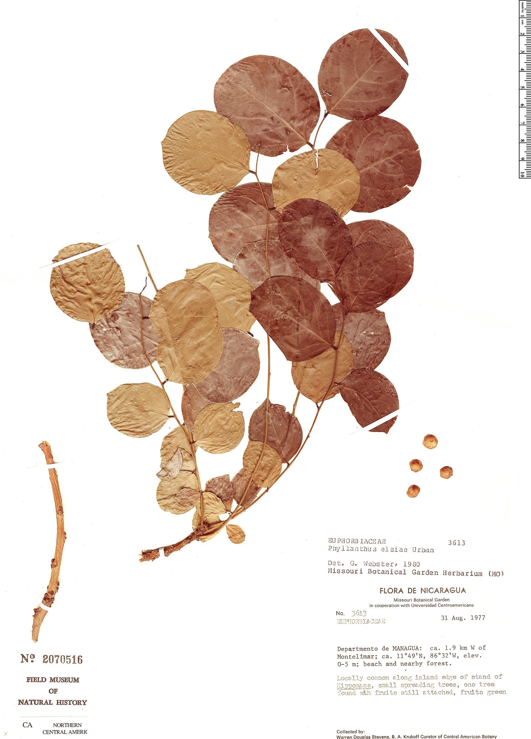 Specimen: Phyllanthus elsiae