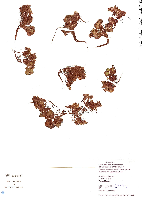Specimen: Phyllanthus fluitans