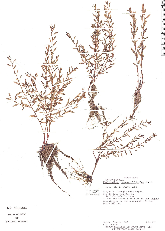 Specimen: Phyllanthus hyssopifolioides