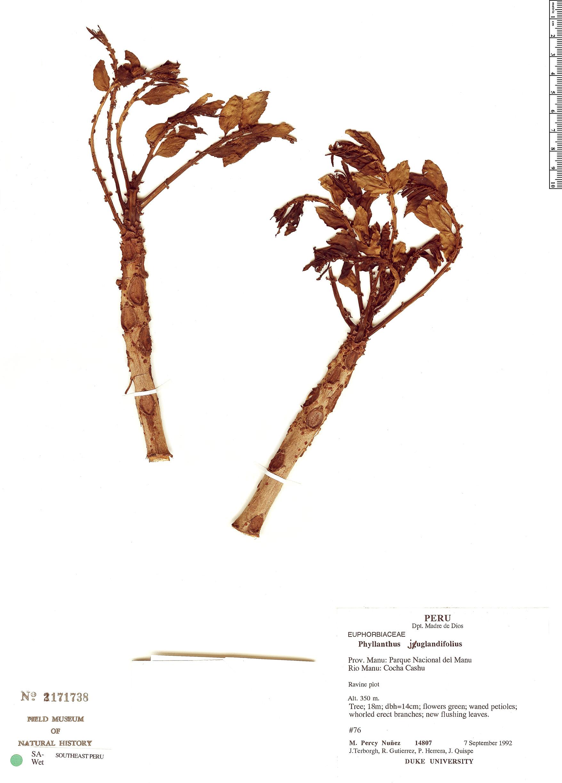 Specimen: Phyllanthus juglandifolius