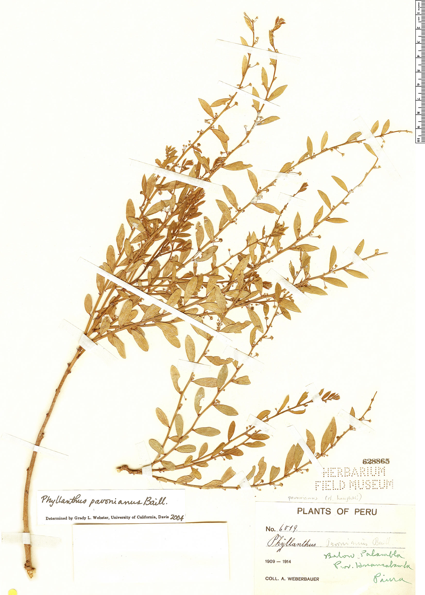 Espécimen: Phyllanthus pavonianus