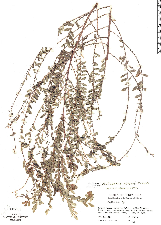 Specimen: Phyllanthus valerioi
