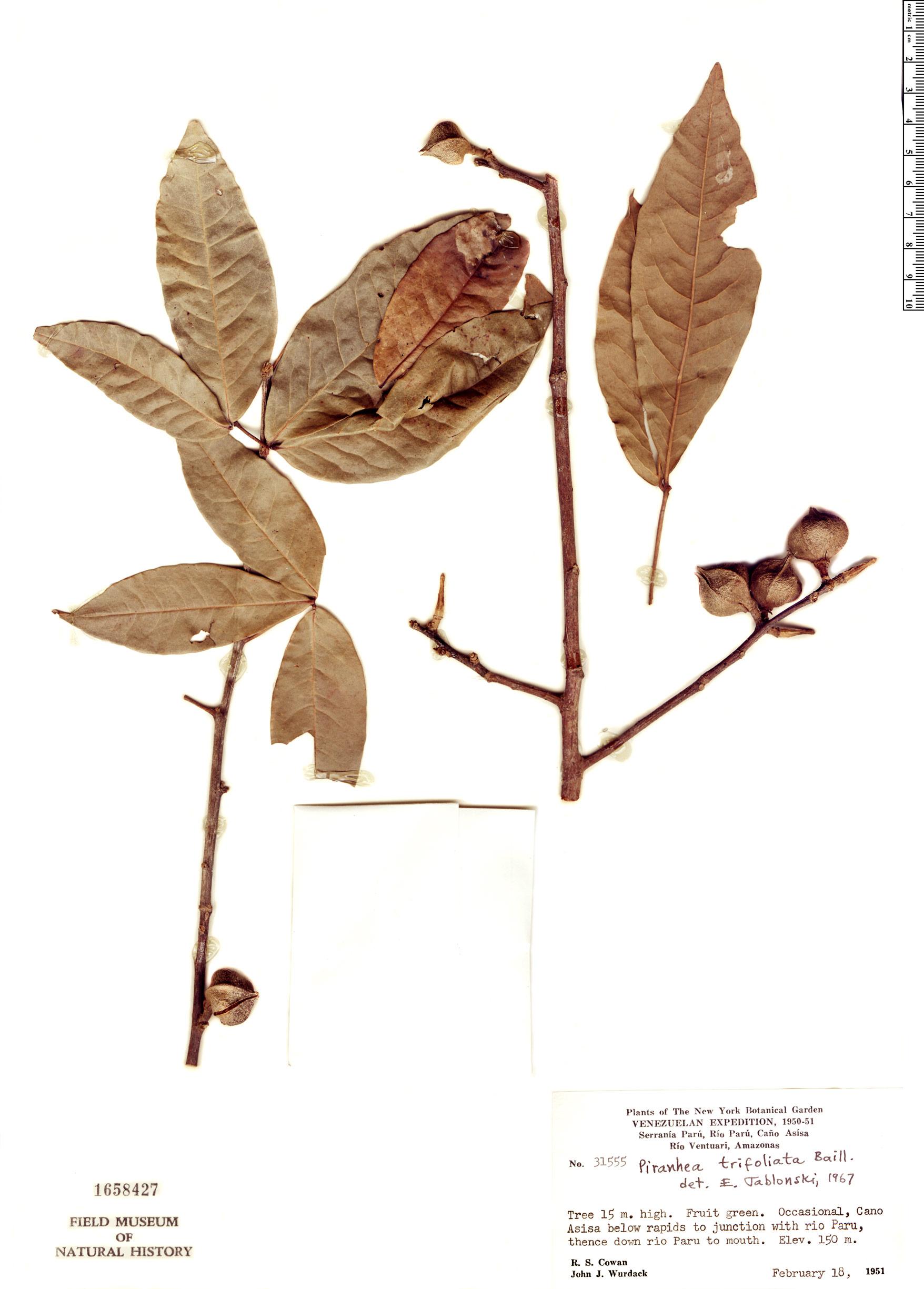Specimen: Piranhea trifoliata