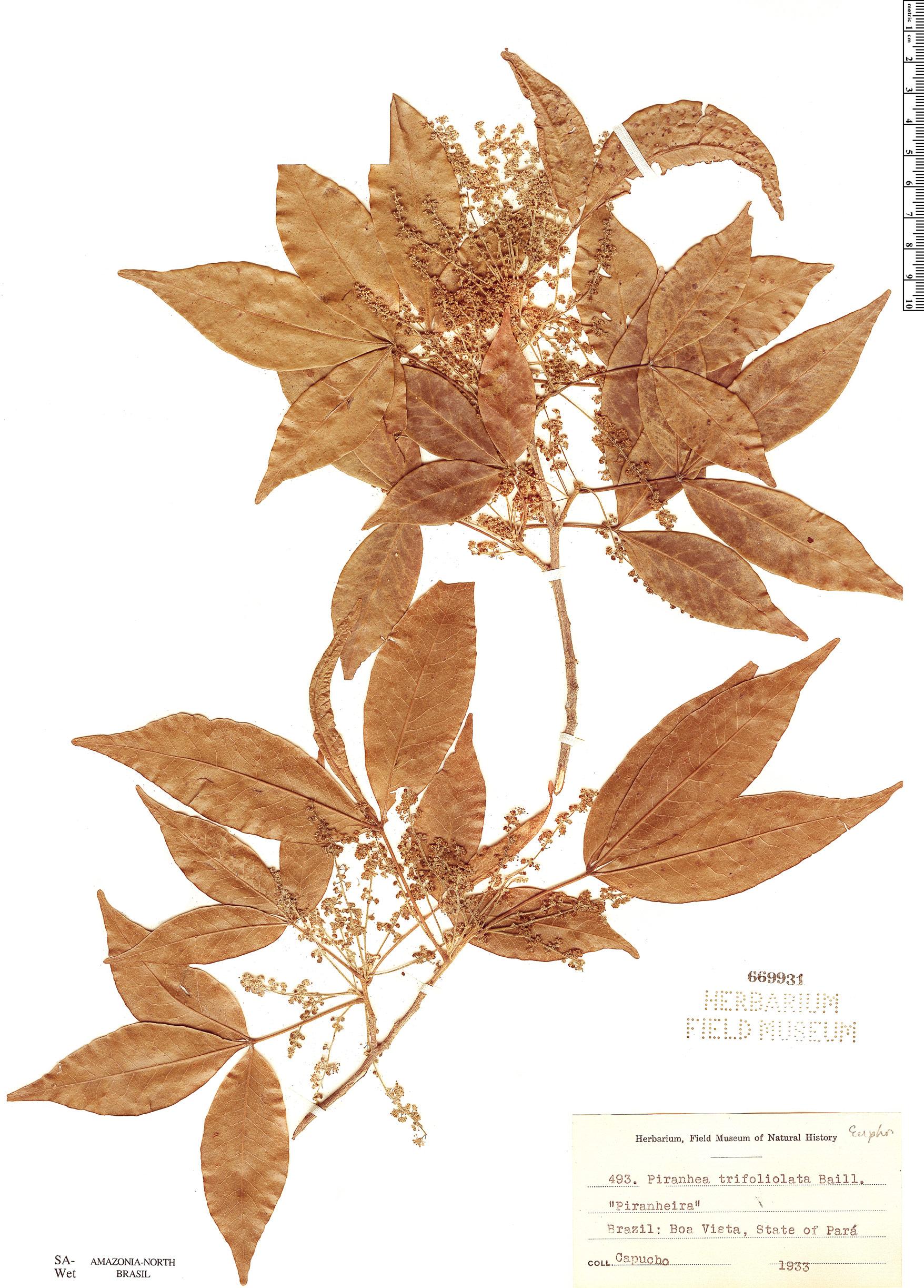 Espécimen: Piranhea trifoliata