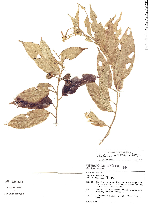 Specimen: Plukenetia serrata