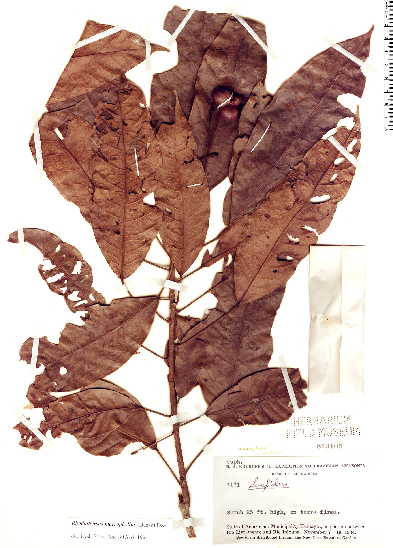 Specimen: Rhodothyrsus macrophyllus