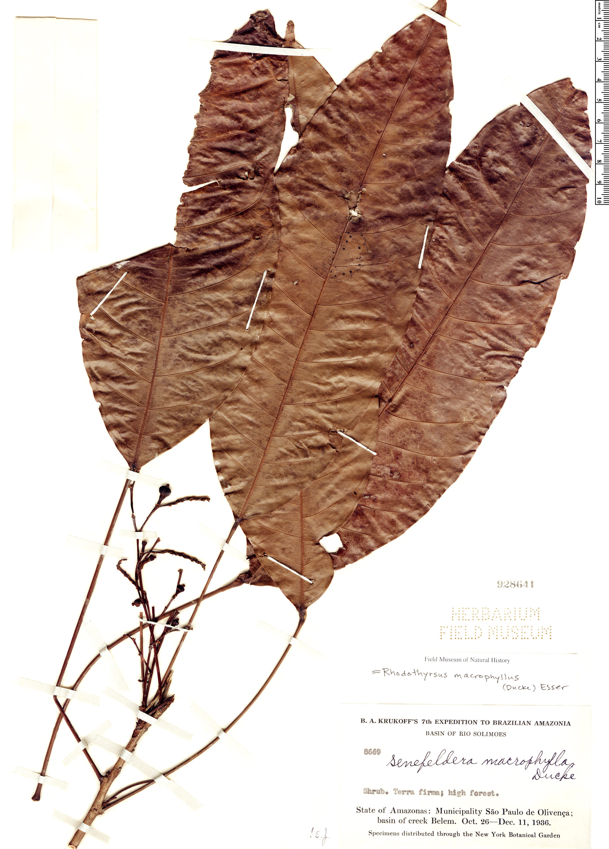 Espécimen: Rhodothyrsus macrophyllus