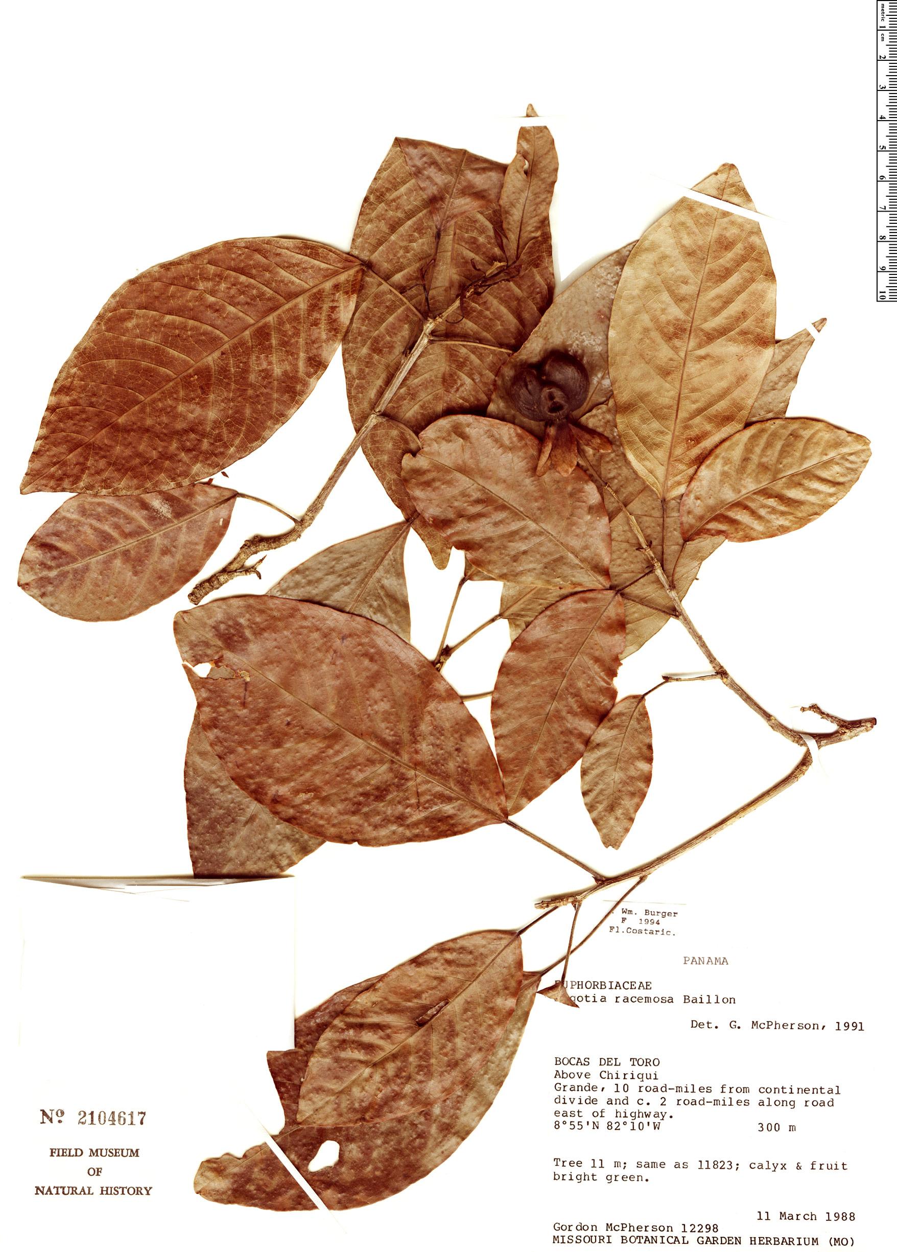 Specimen: Sagotia racemosa