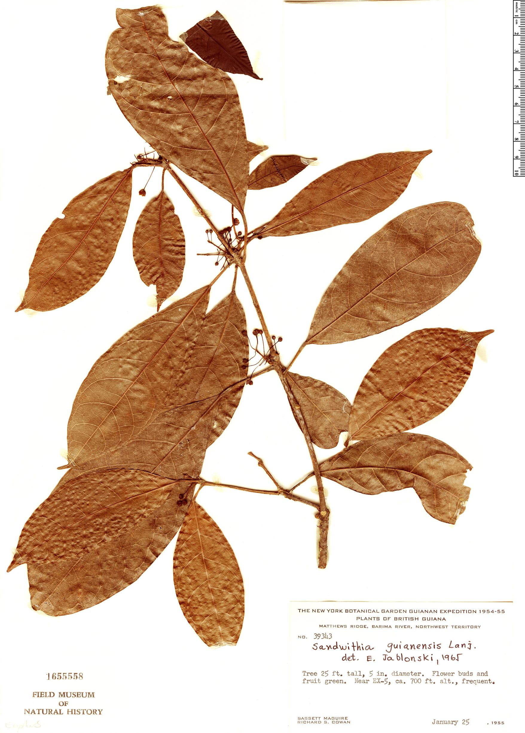 Specimen: Sandwithia guyanensis