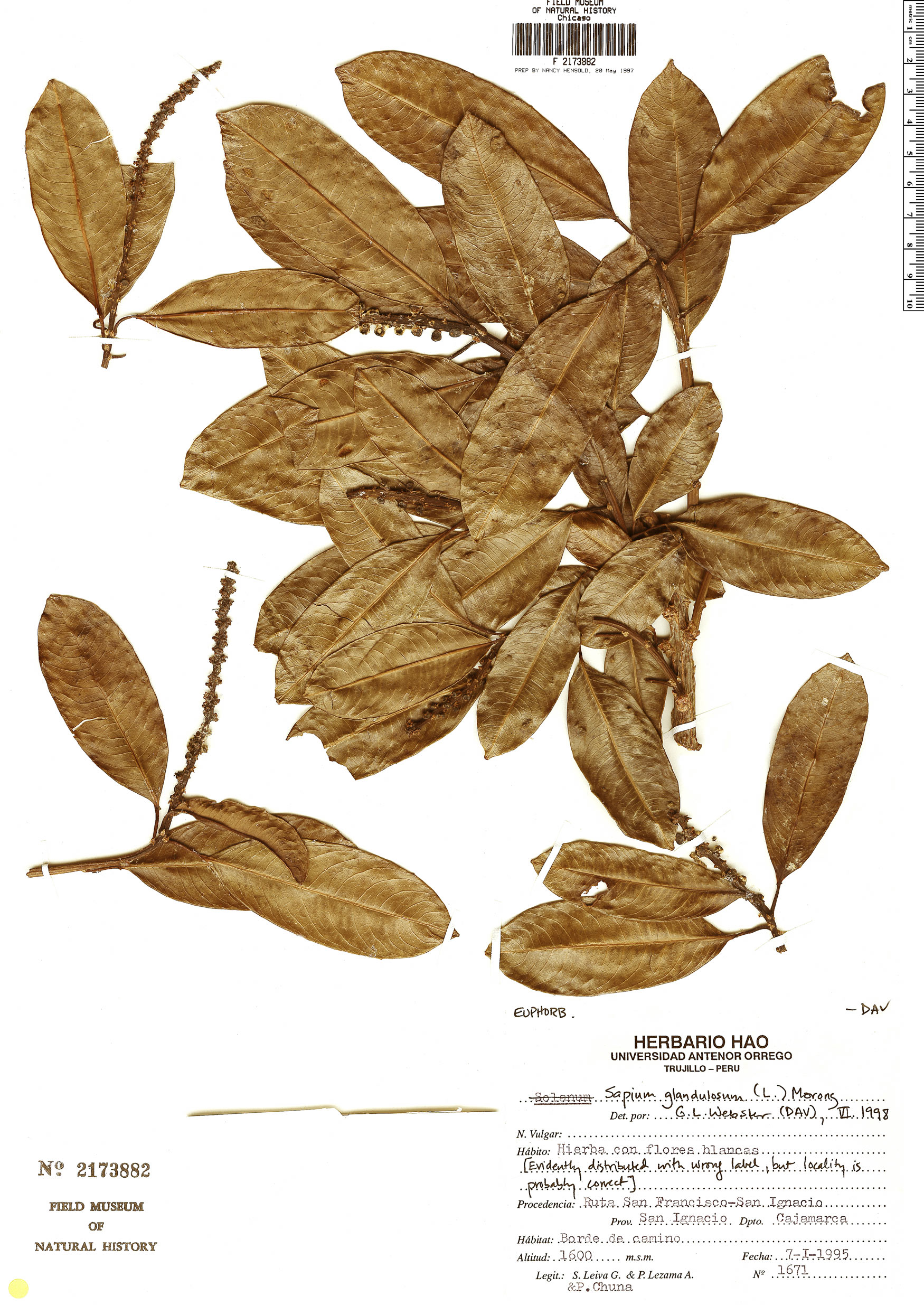 Specimen: Sapium glandulosum