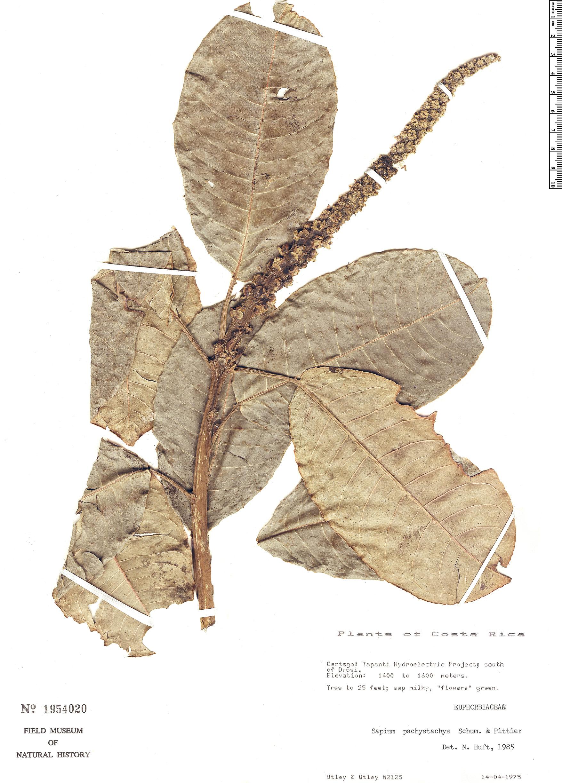 Specimen: Sapium pachystachys