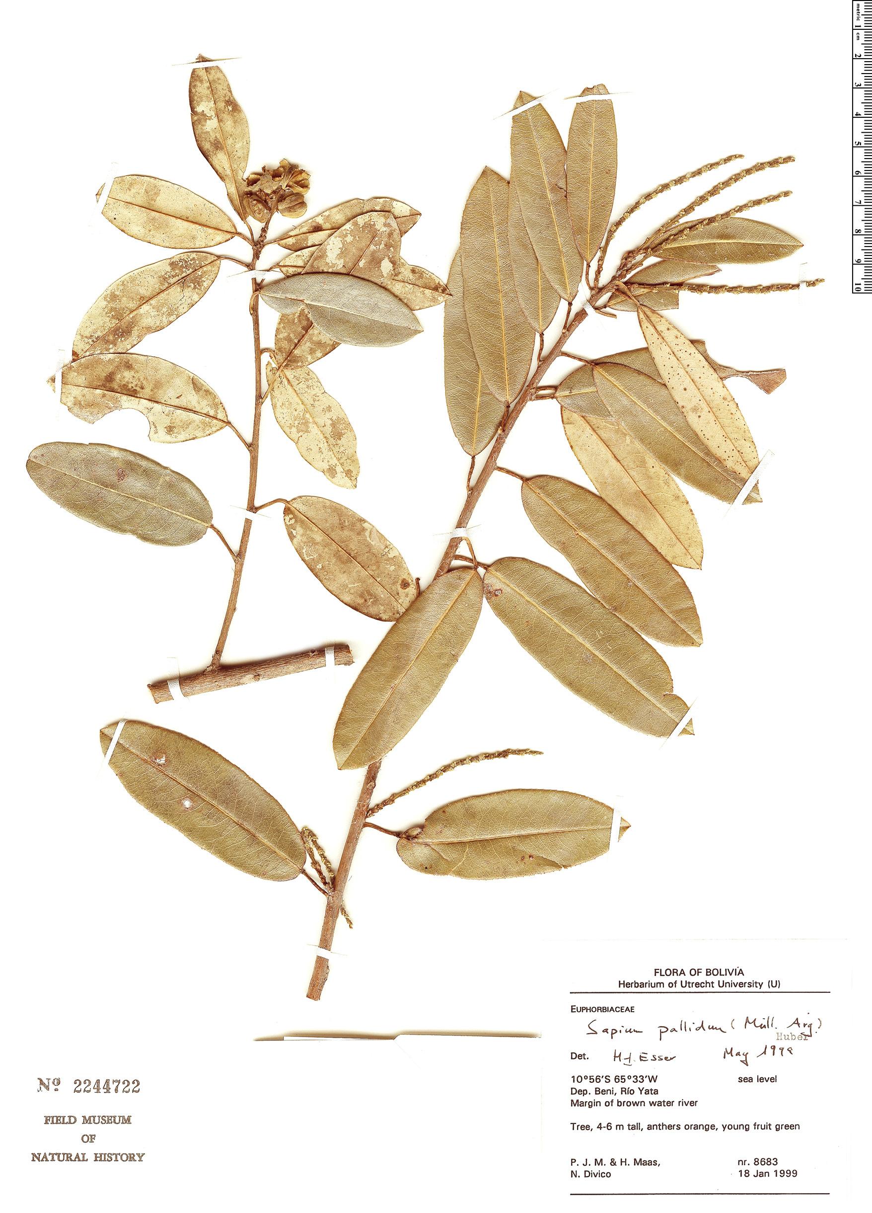 Specimen: Sapium pallidum