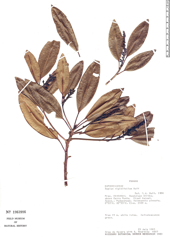 Specimen: Sapium rigidifolium