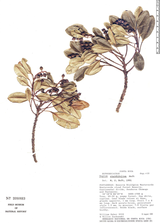 Espécimen: Sapium rigidifolium