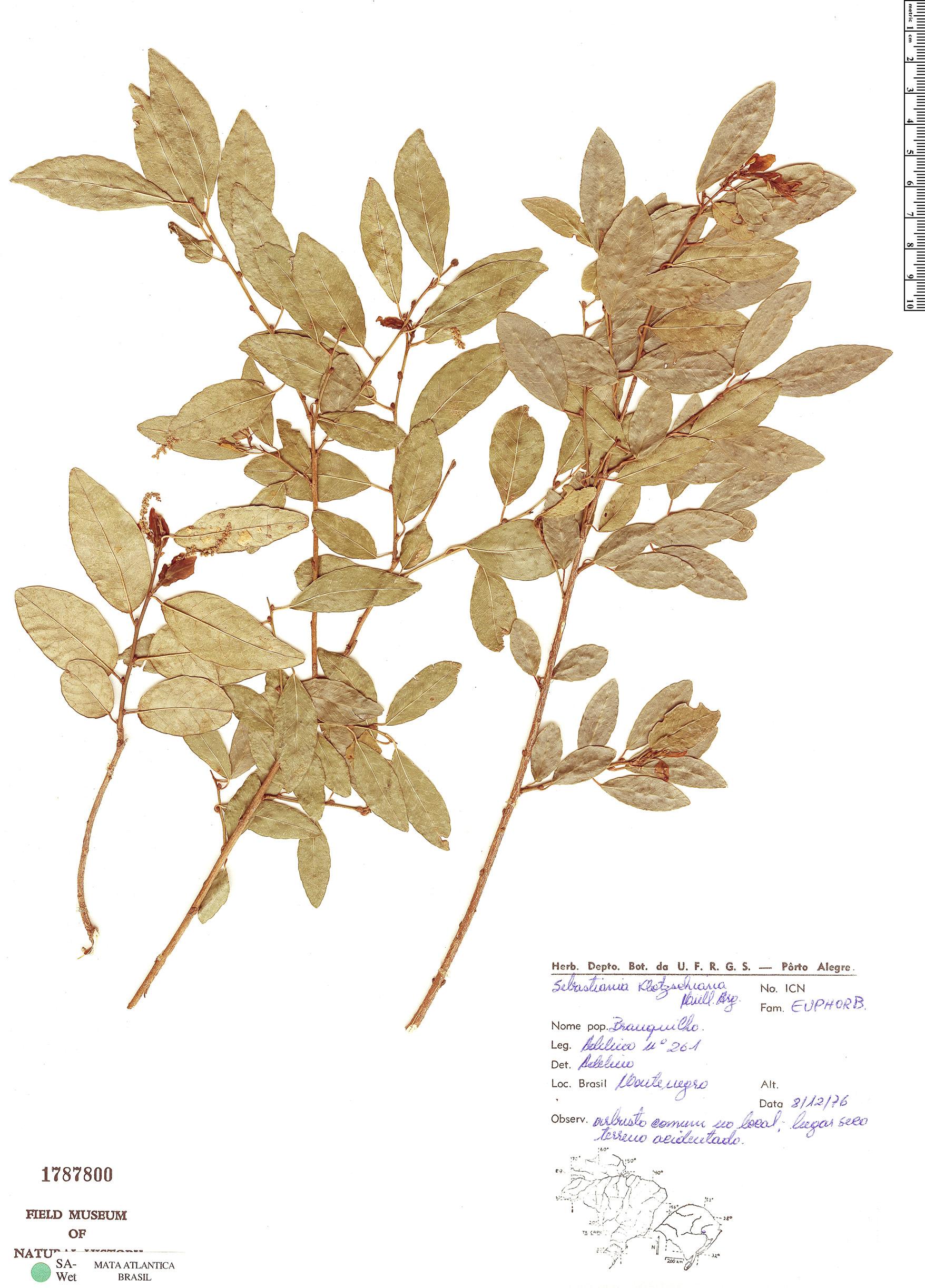 Specimen: Sebastiania klotzschiana