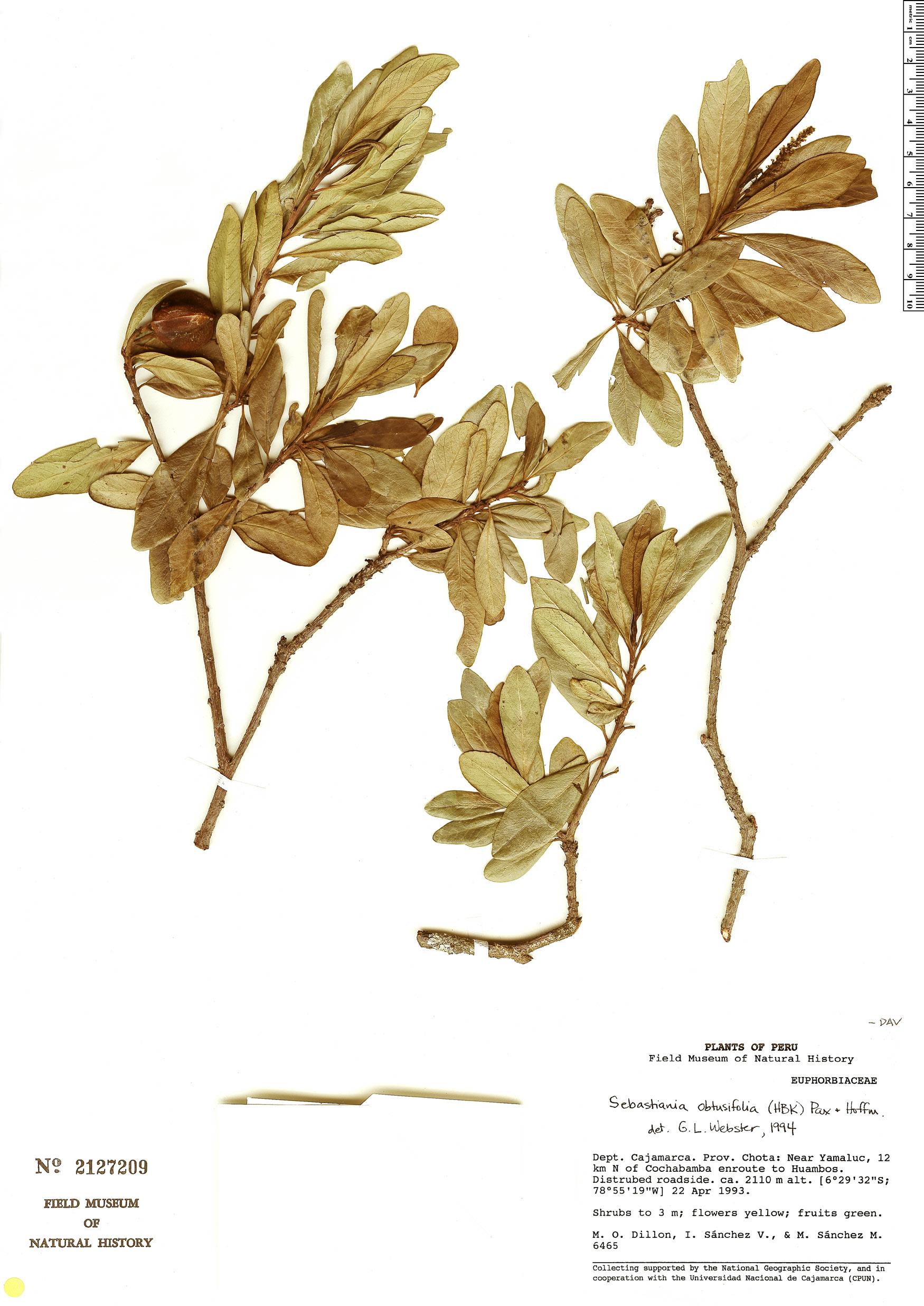 Specimen: Sebastiania obtusifolia