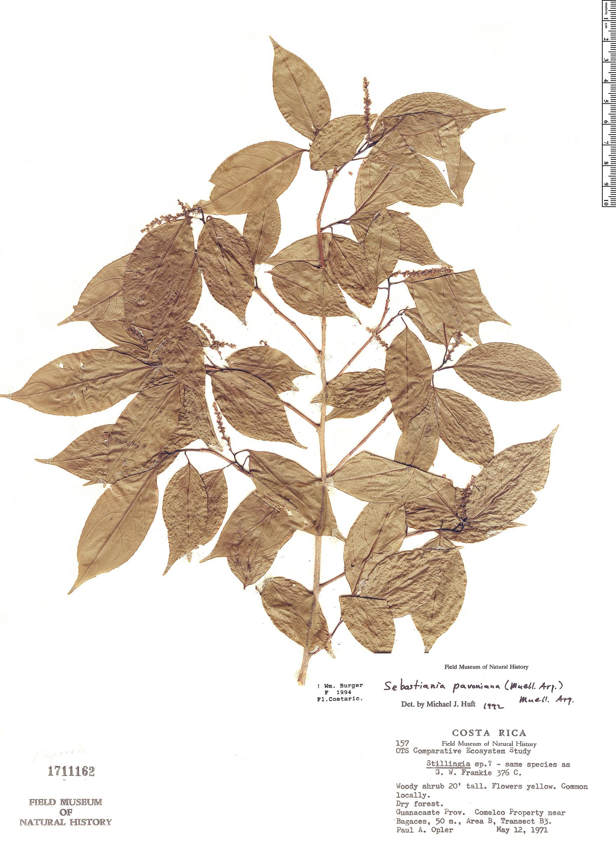 Specimen: Sebastiania pavoniana
