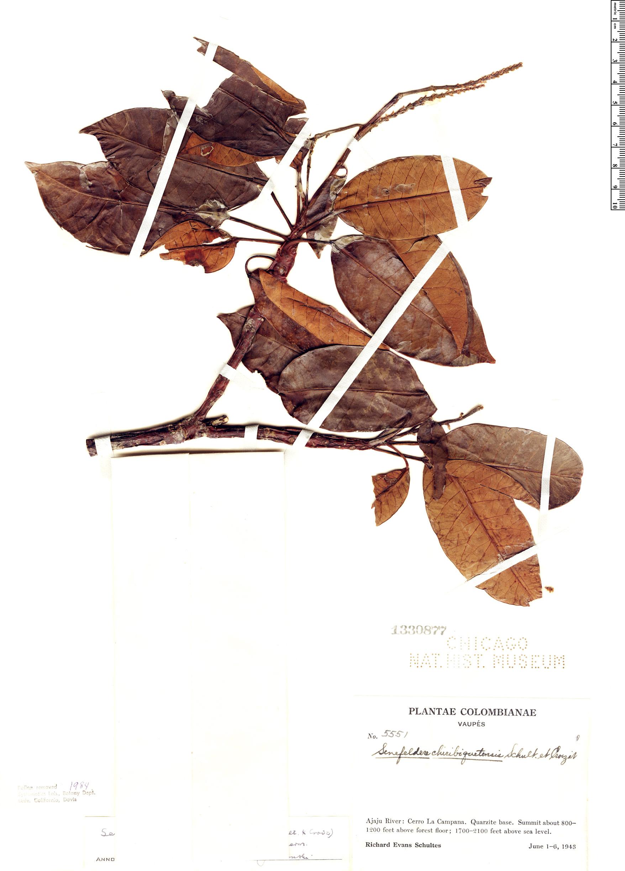 Specimen: Senefelderopsis chiribiquetensis