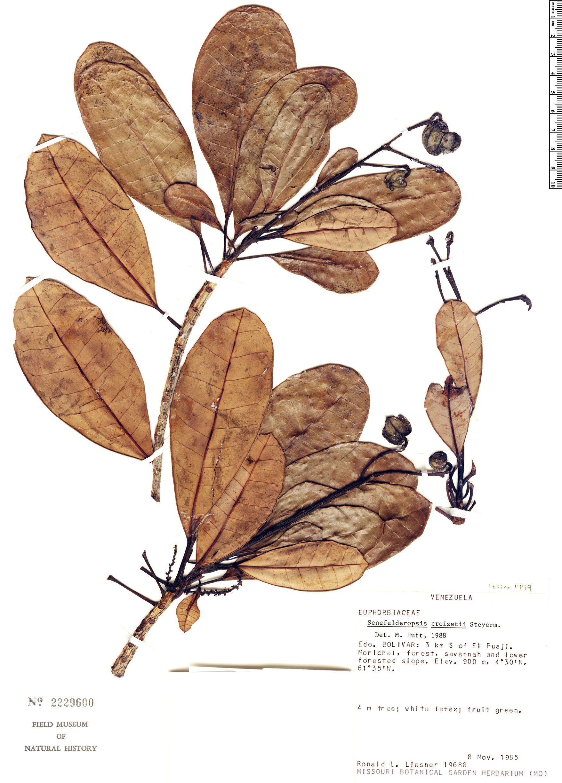 Specimen: Senefelderopsis croizatii