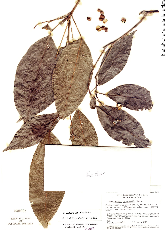 Specimen: Senefeldera testiculata