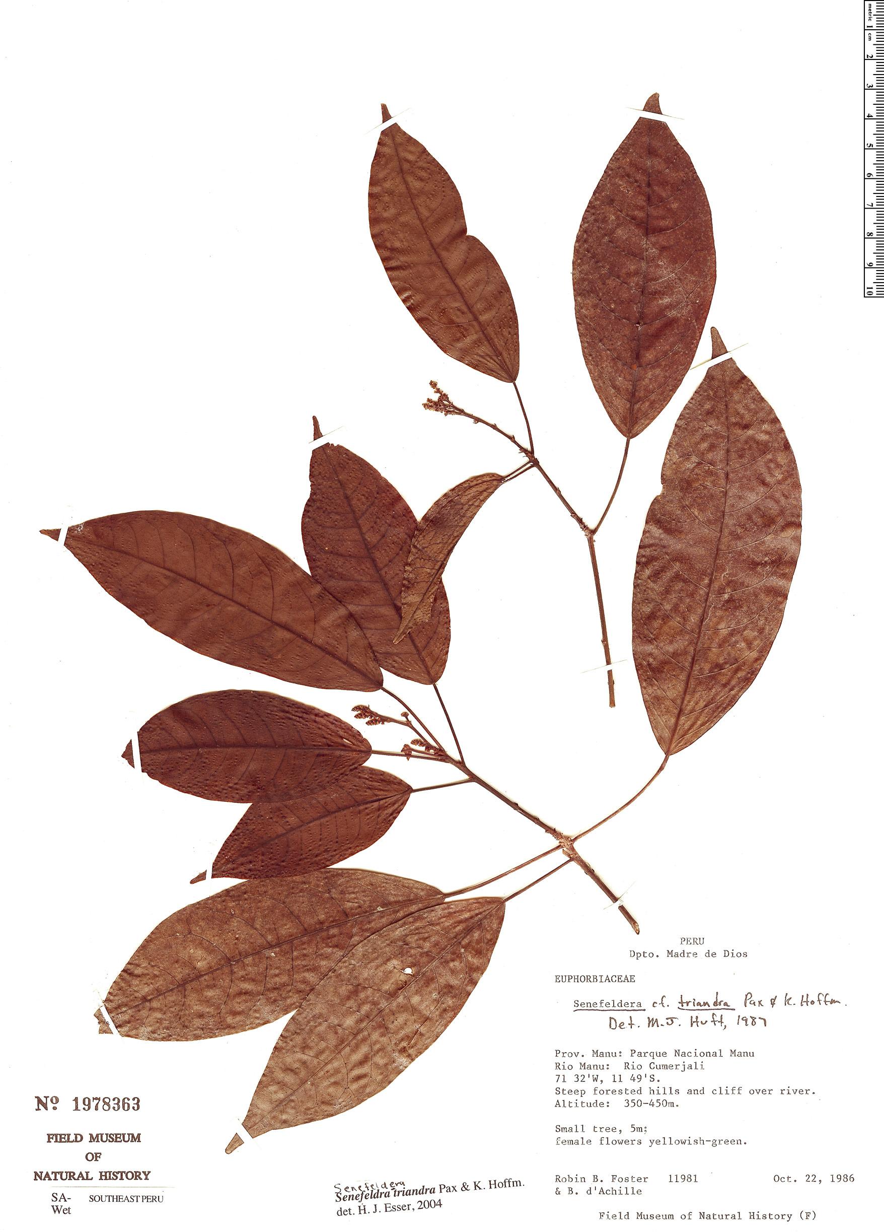 Specimen: Senefeldera triandra