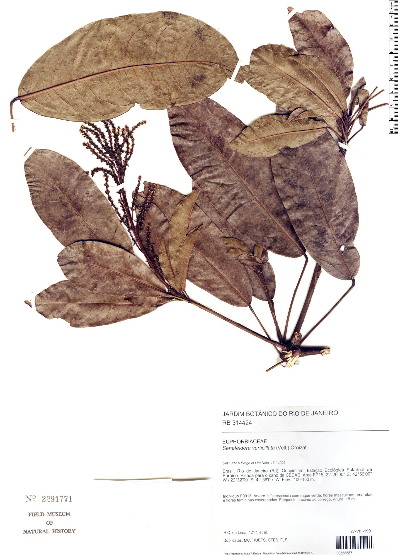Specimen: Senefeldera verticillata