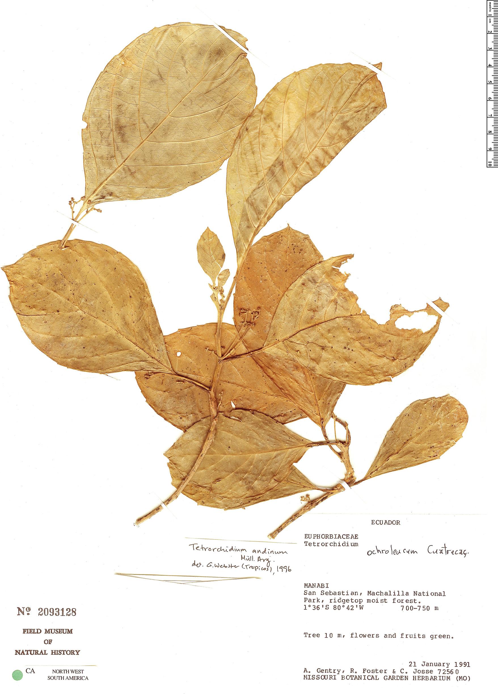Specimen: Tetrorchidium andinum