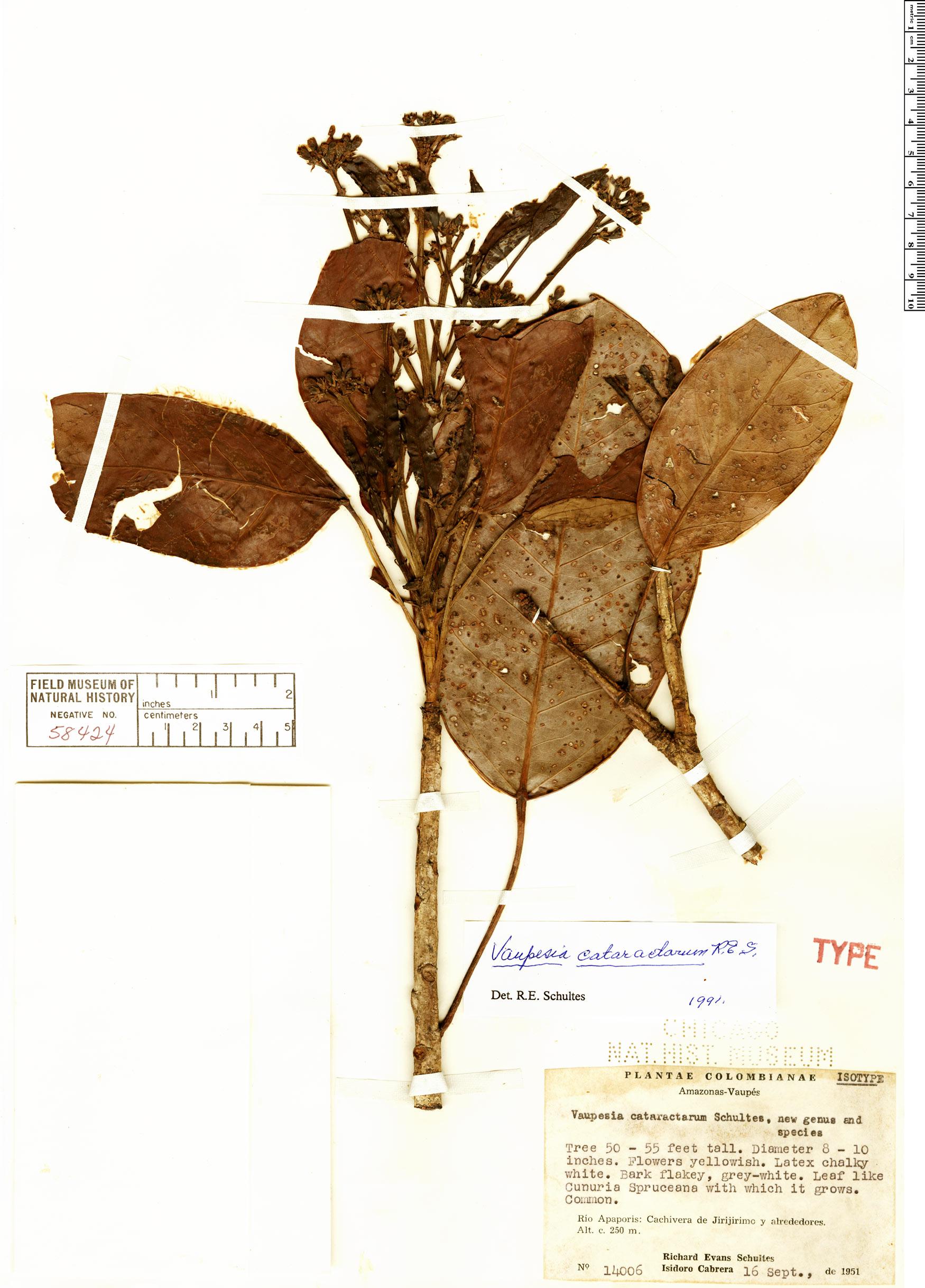 Specimen: Vaupesia cataractarum