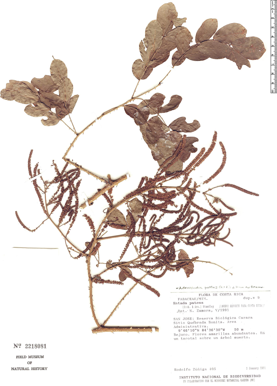 Specimen: Adenopodia patens