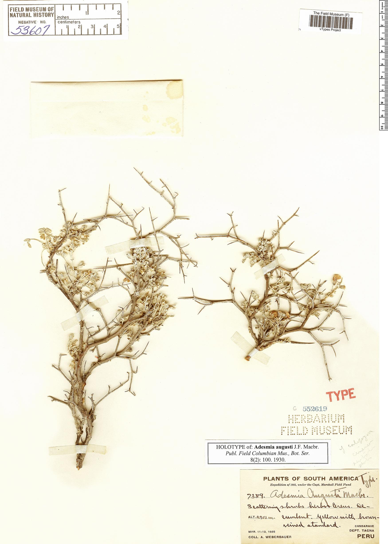 Specimen: Adesmia augusti