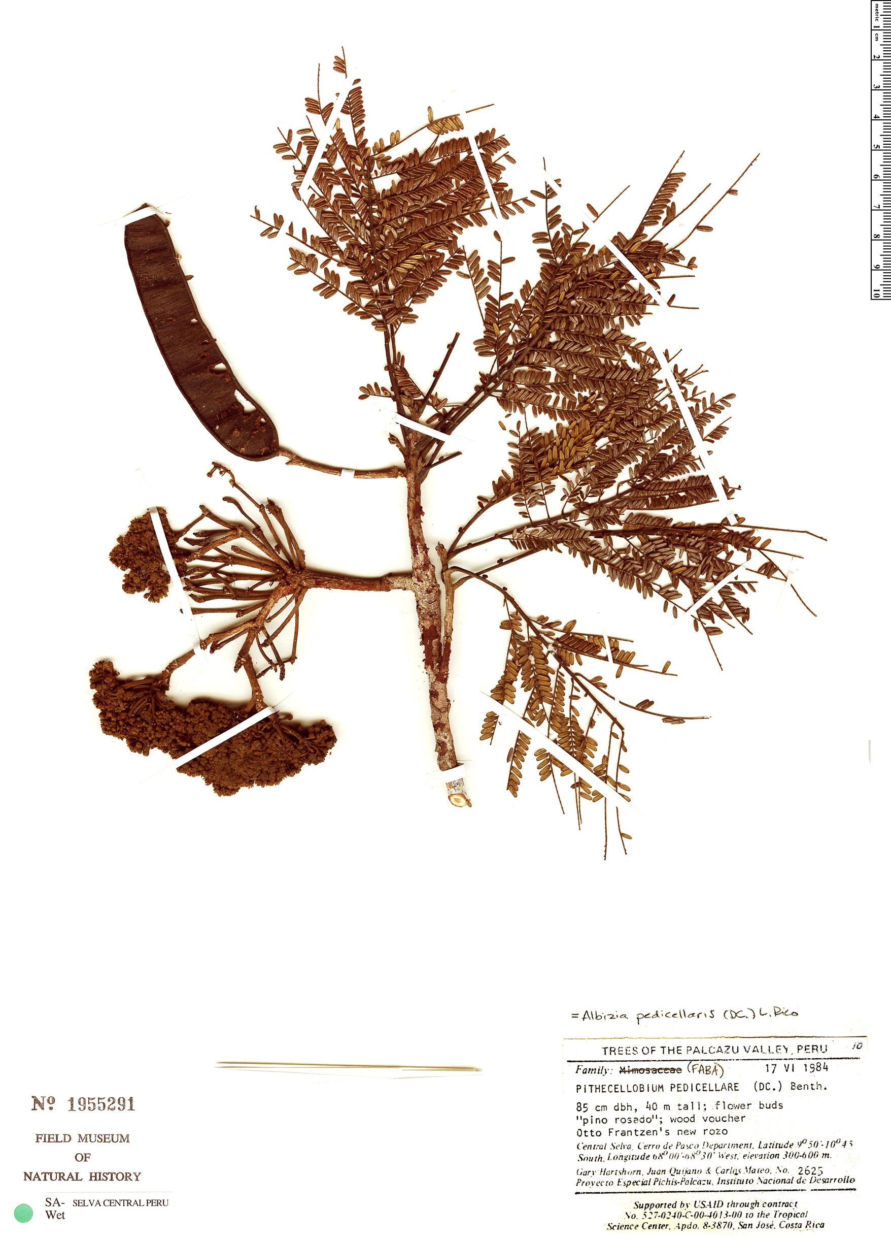 Specimen: Albizia pedicellaris