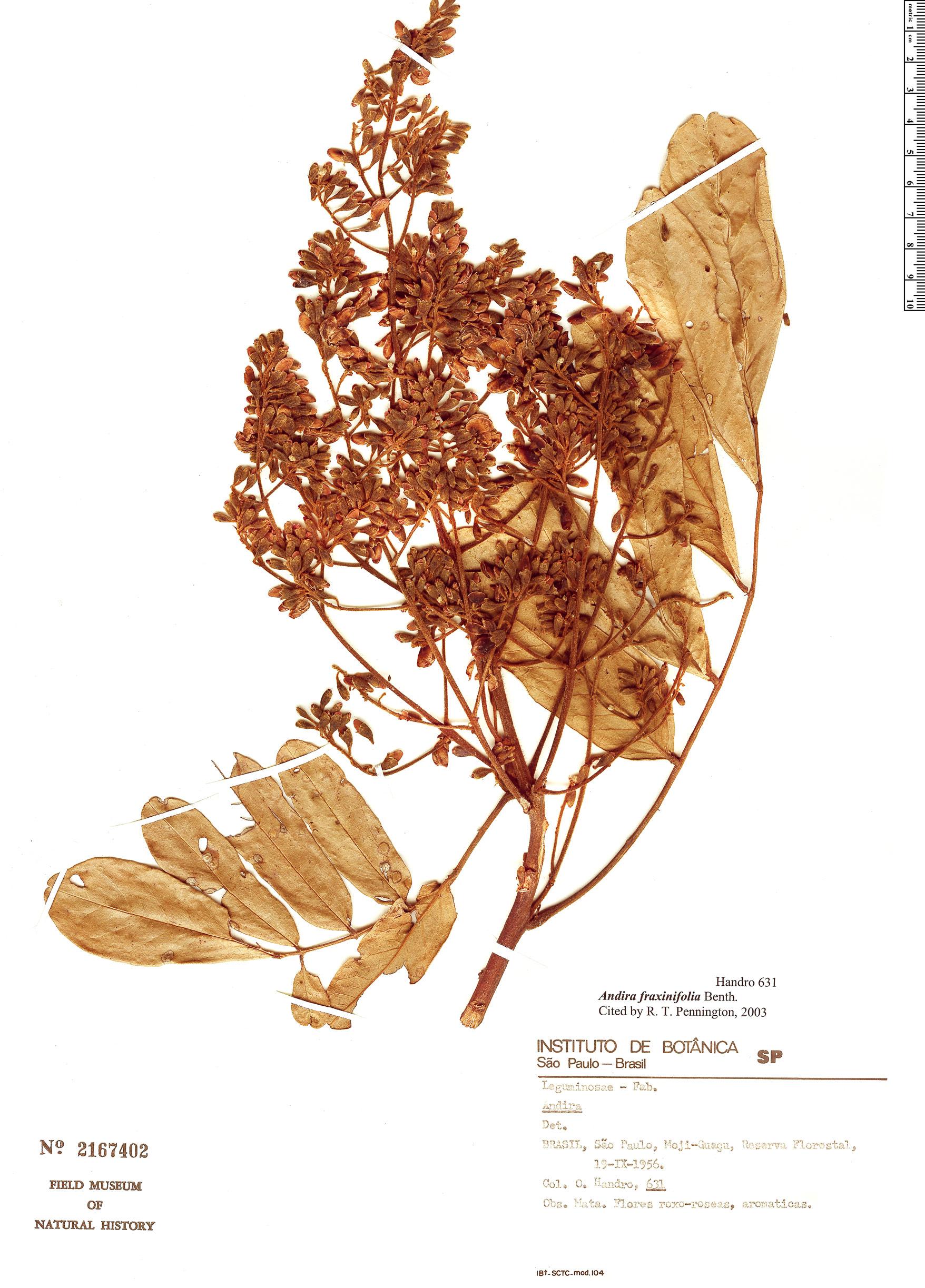 Specimen: Andira fraxinifolia