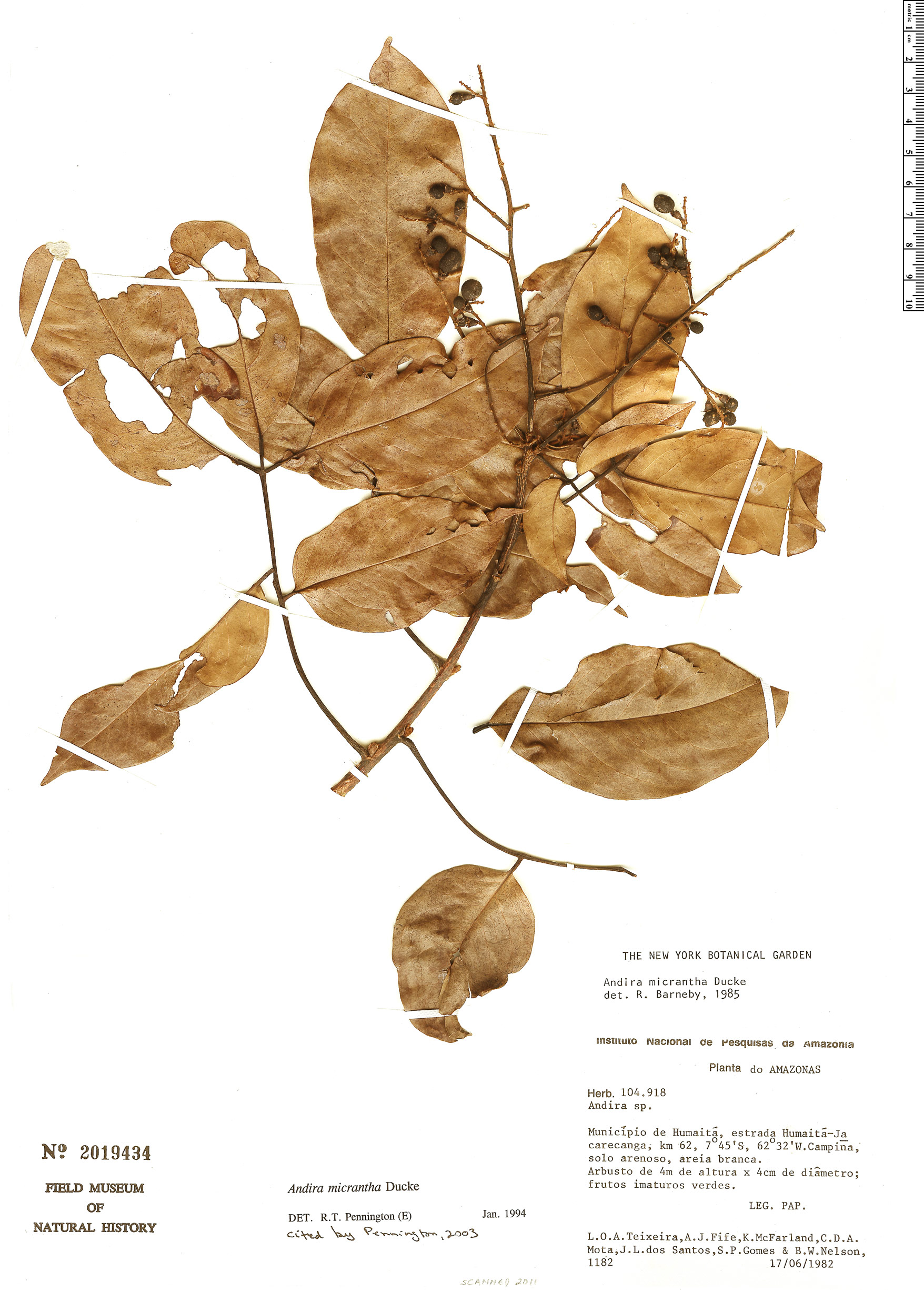 Specimen: Andira micrantha