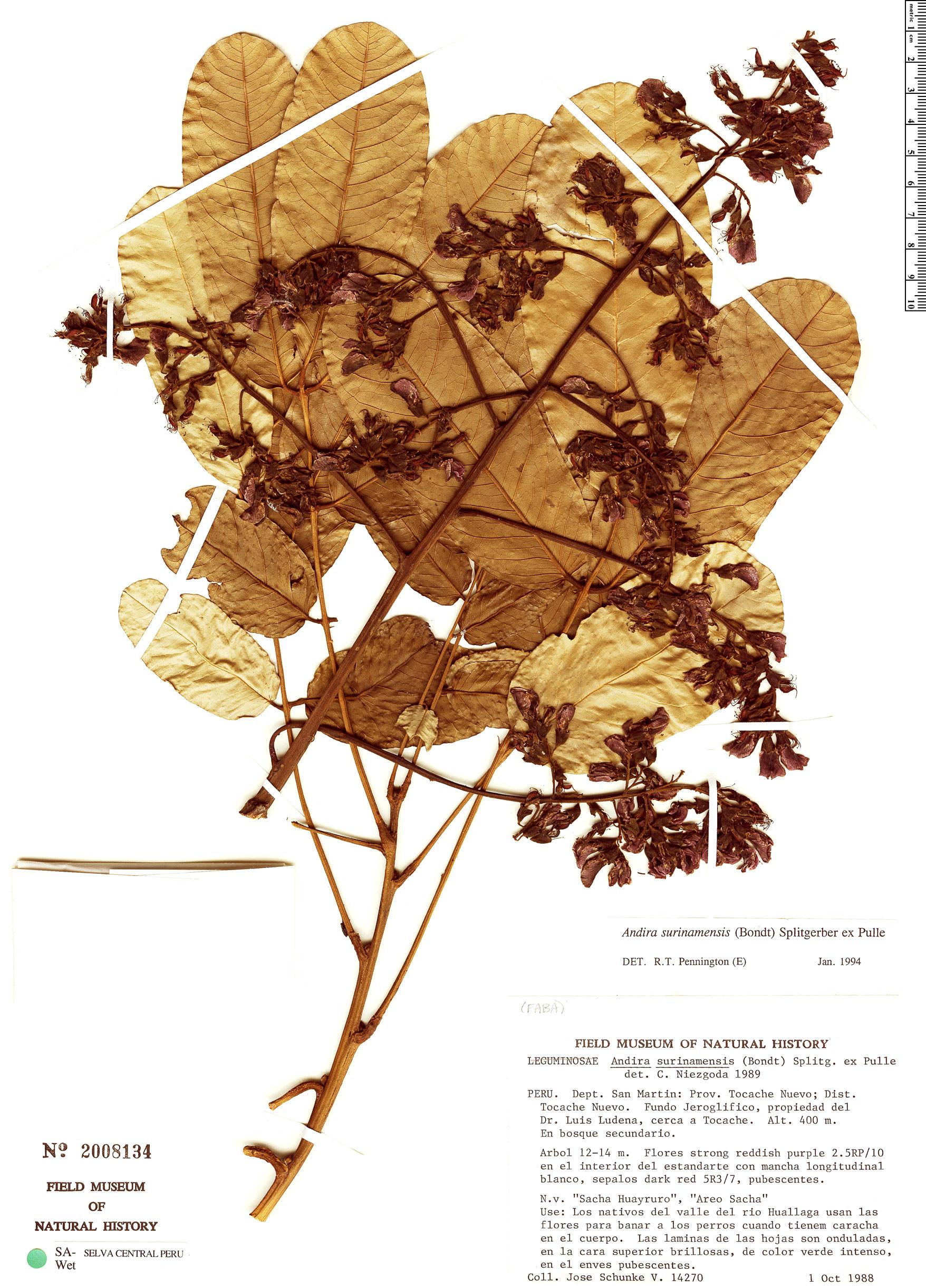 Specimen: Andira surinamensis