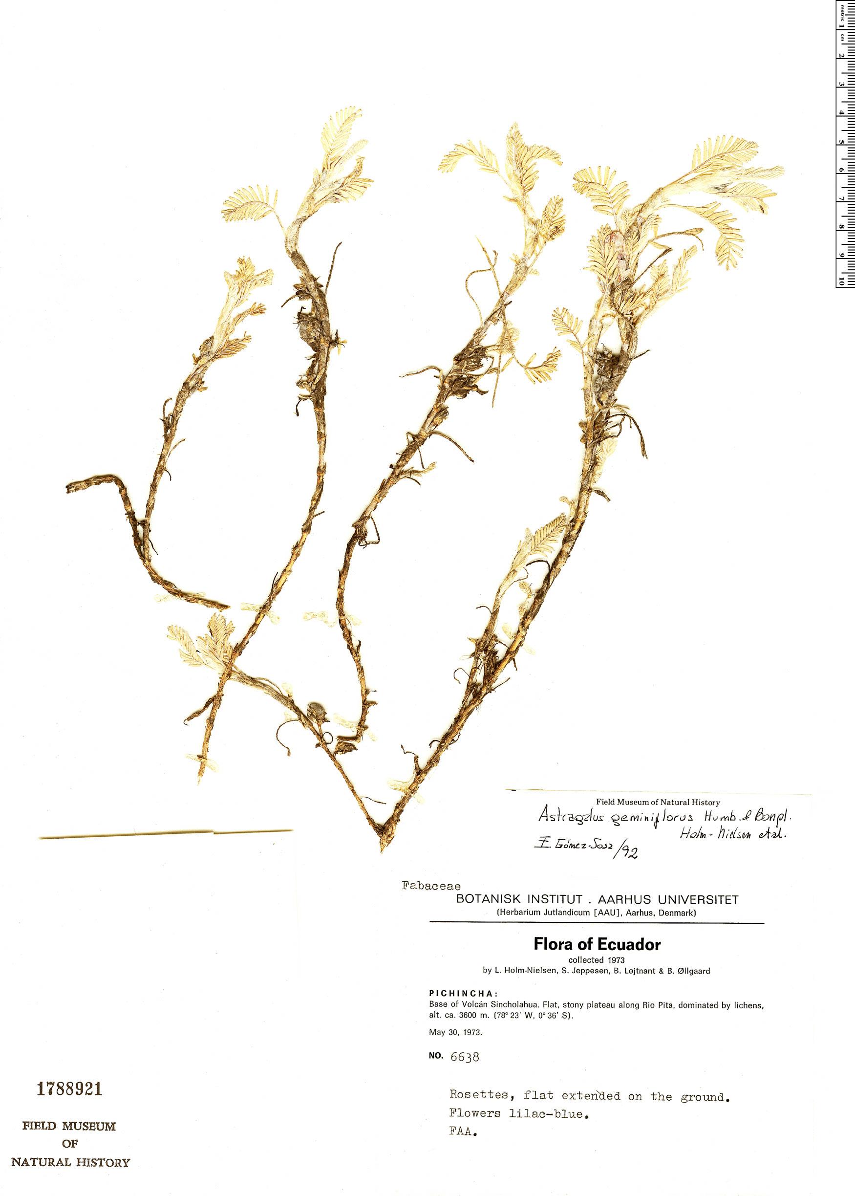Specimen: Astragalus geminiflorus