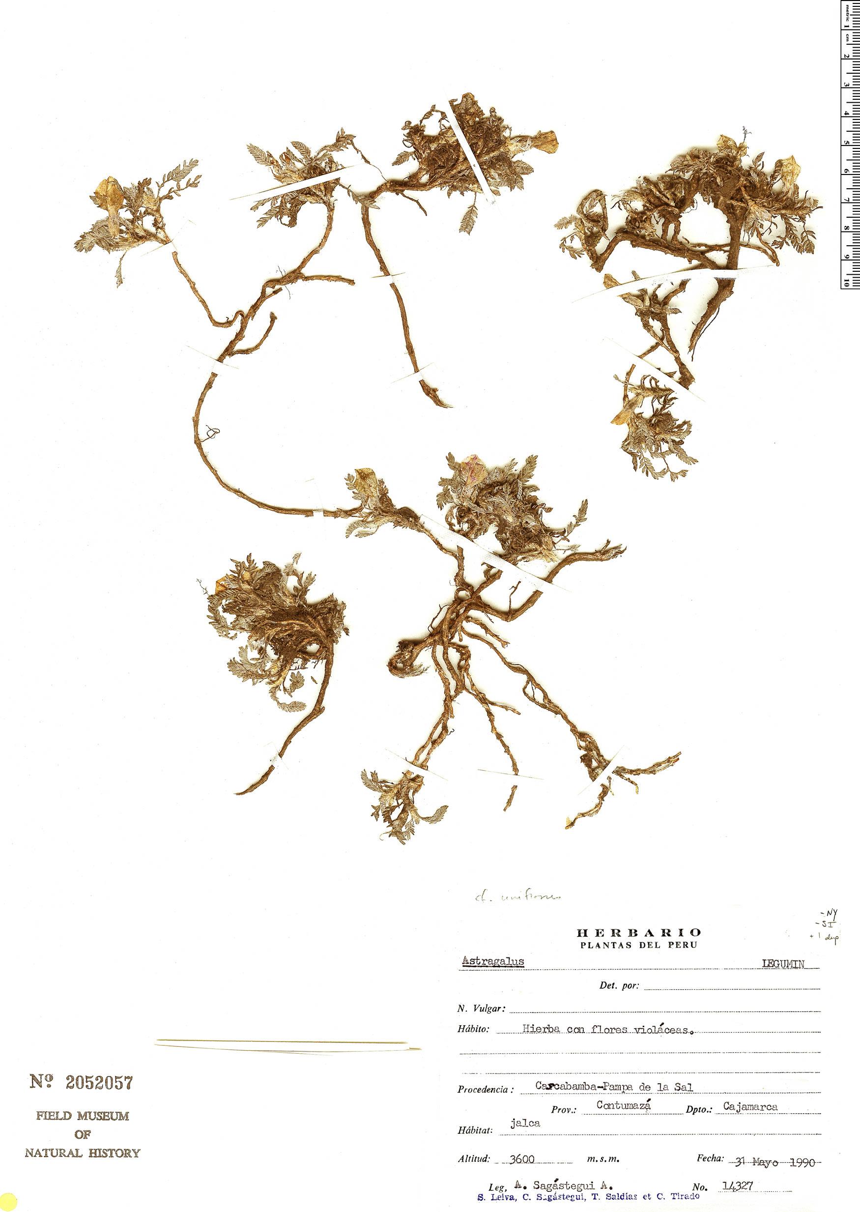 Specimen: Astragalus uniflorus