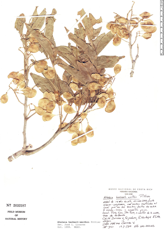 Specimen: Ateleia herbert-smithii