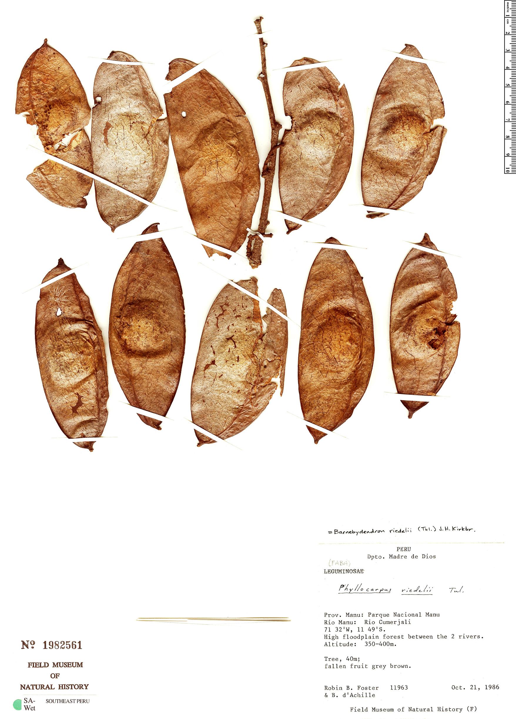 Specimen: Barnebydendron riedelii