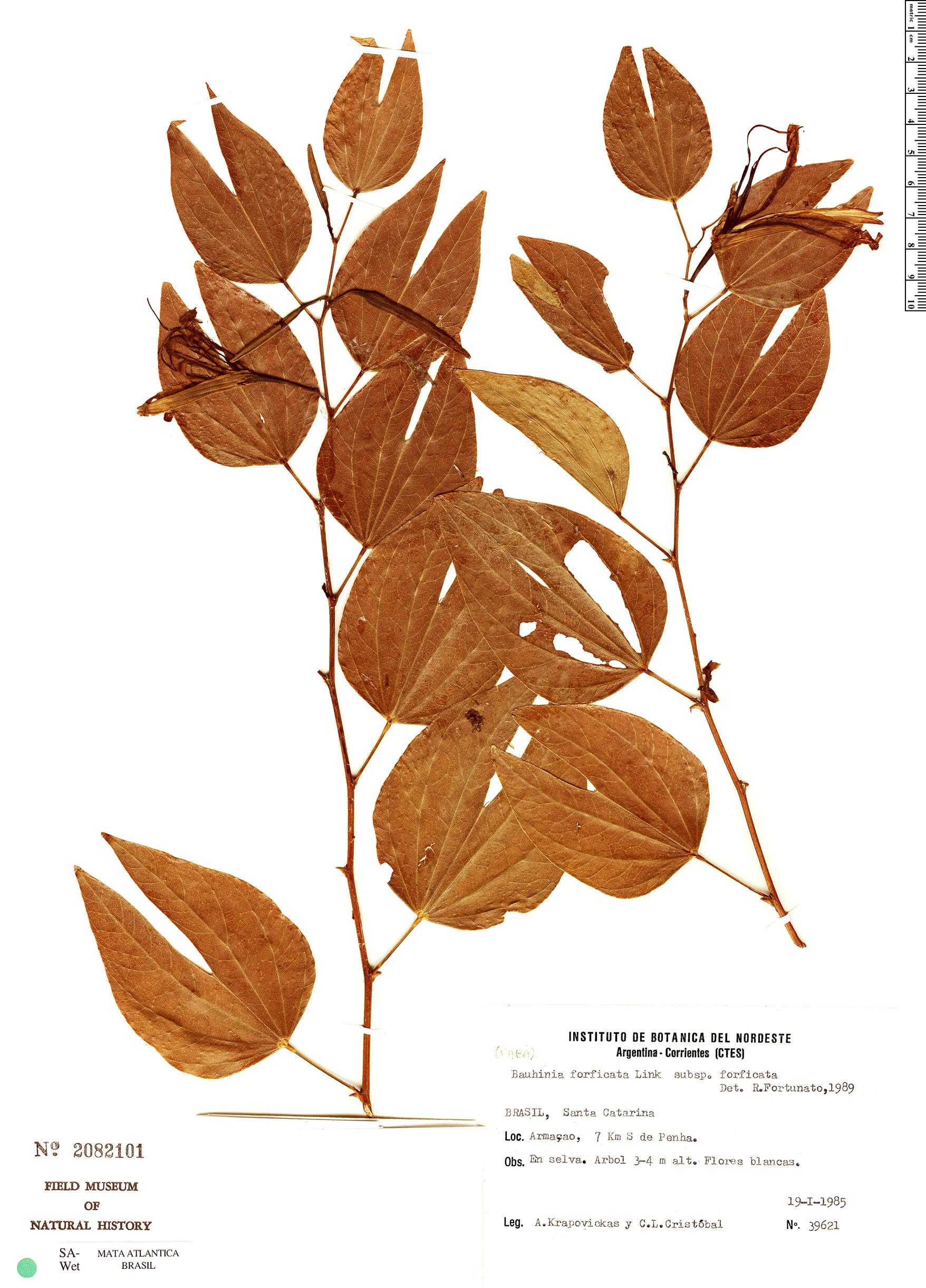 Specimen: Bauhinia forficata
