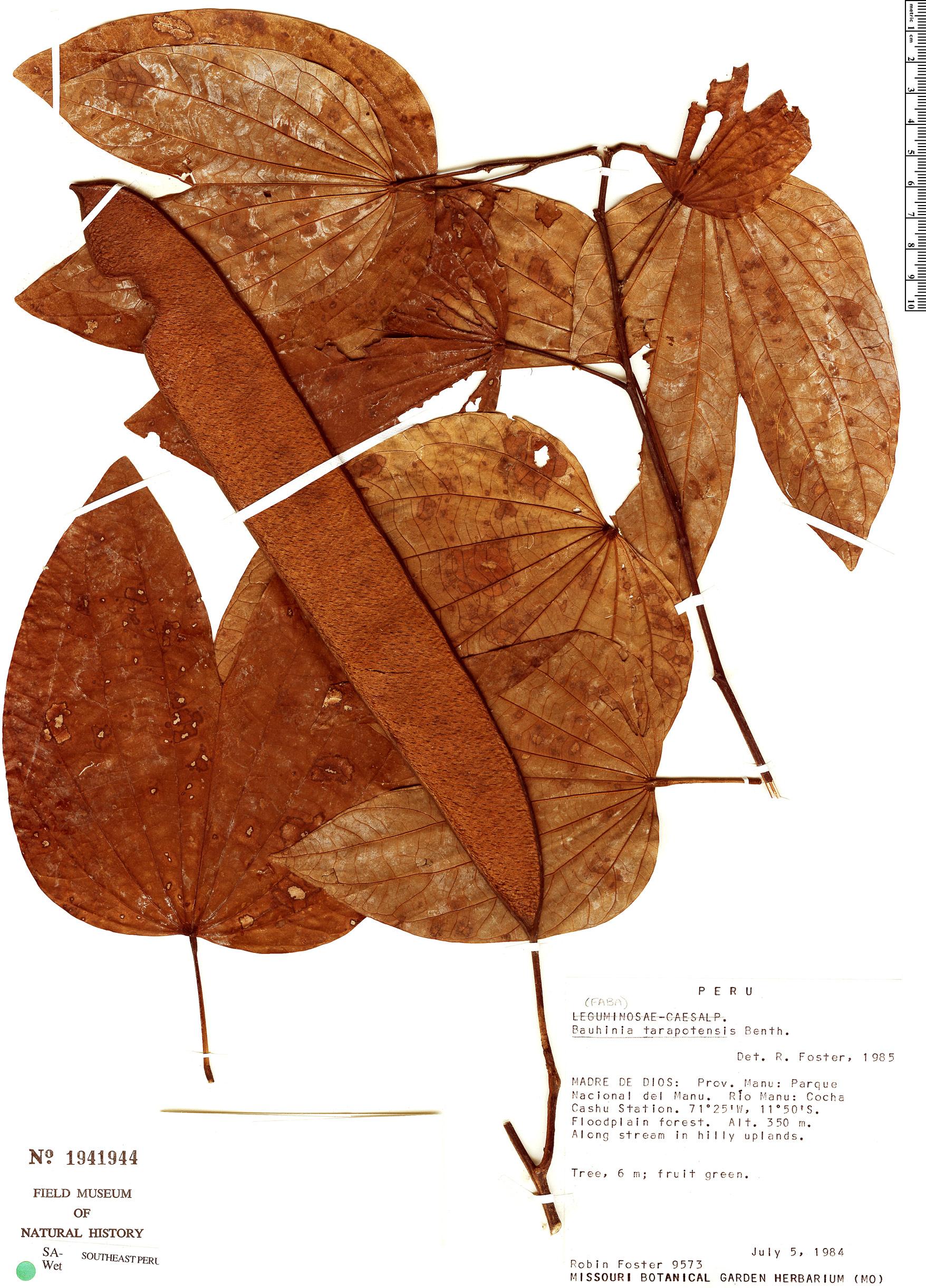 Specimen: Bauhinia tarapotensis