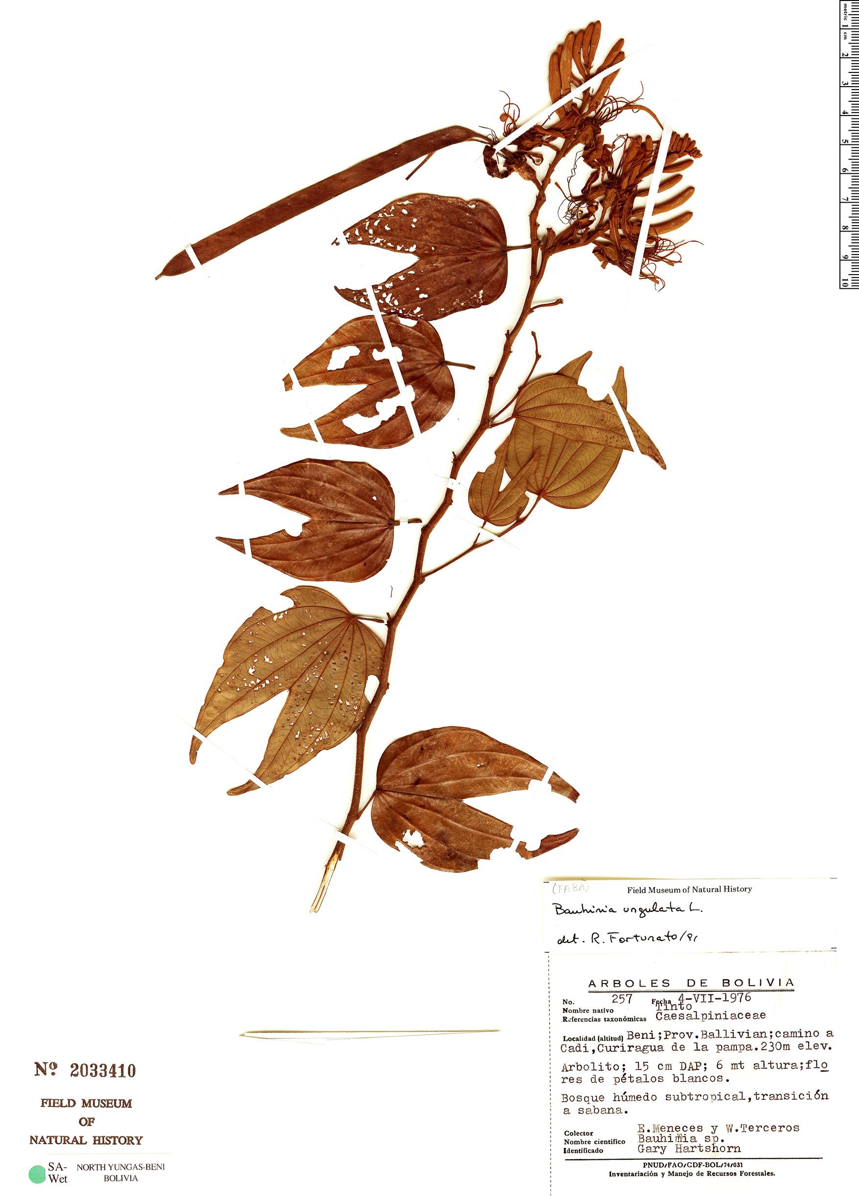 Specimen: Bauhinia ungulata