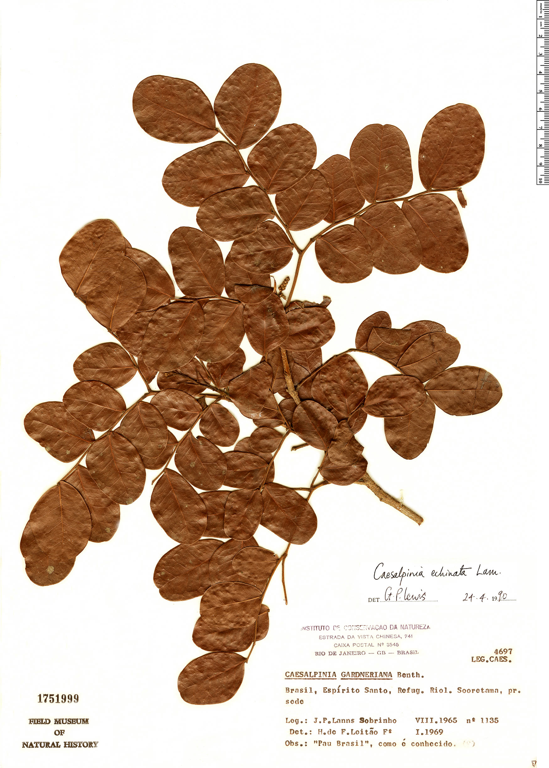 Specimen: Caesalpinia echinata