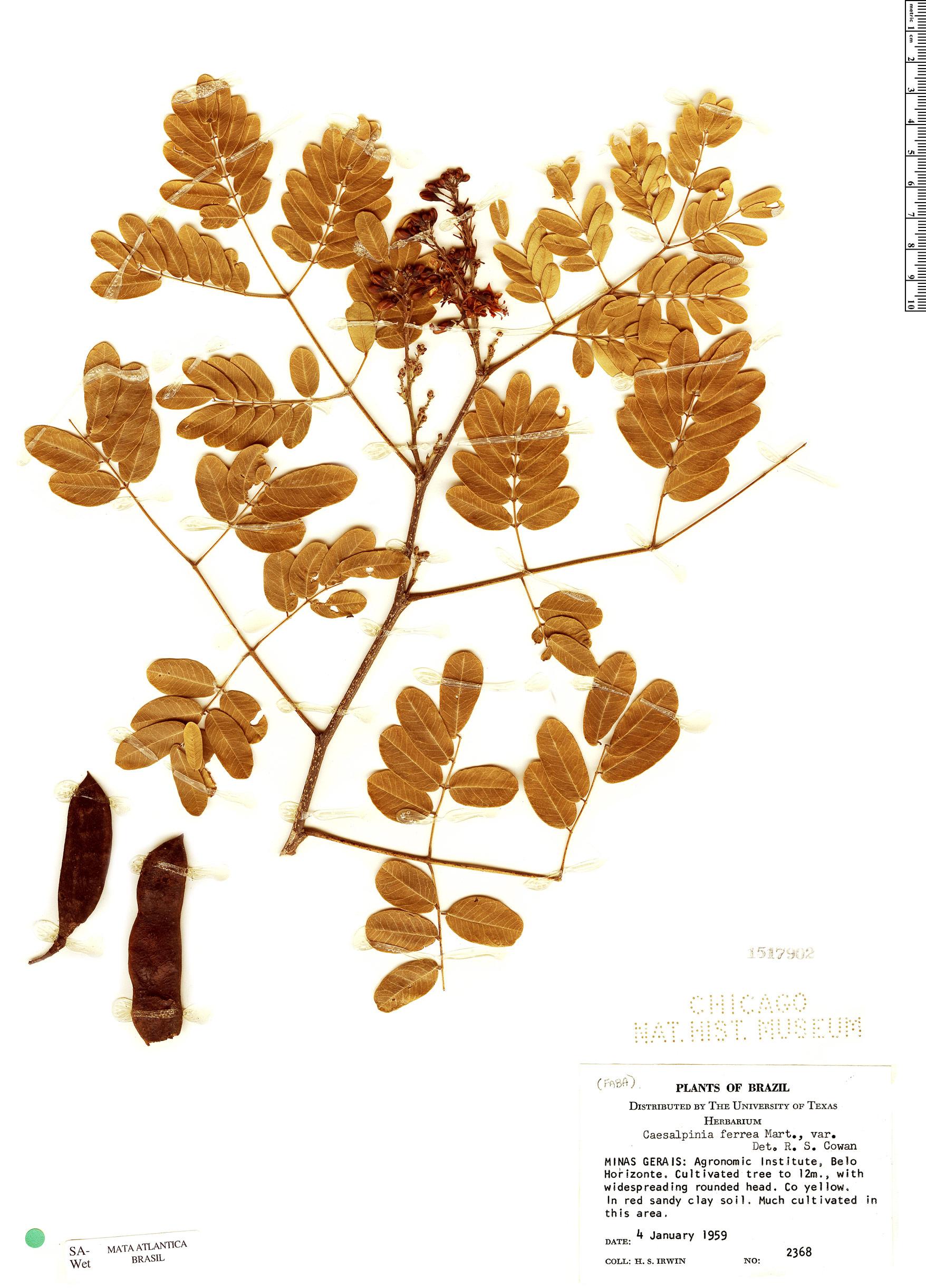 Specimen: Caesalpinia ferrea