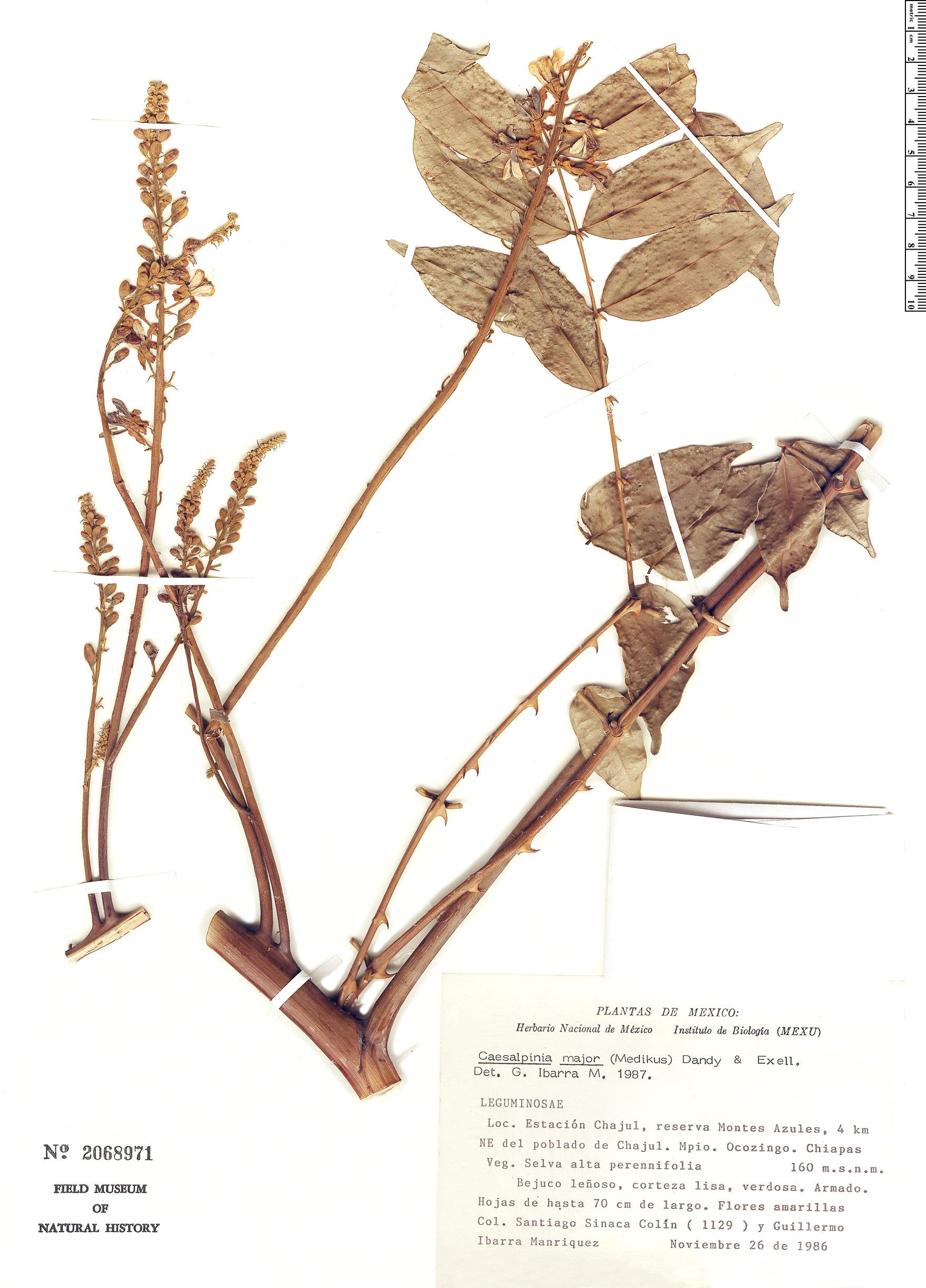 Specimen: Caesalpinia major