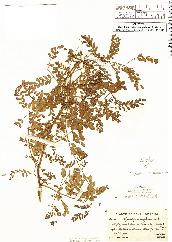 Specimen: Caesalpinia paipai