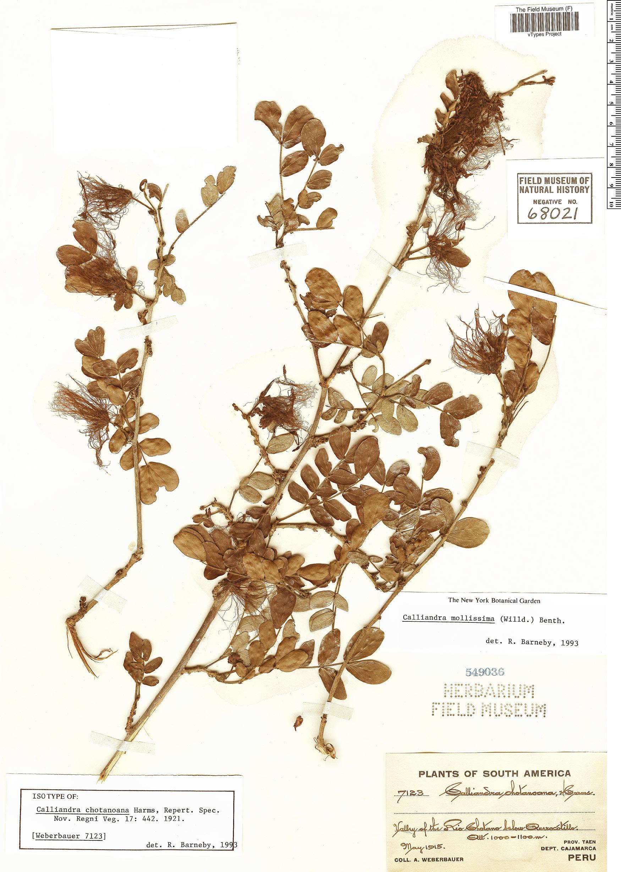 Specimen: Calliandra chotanoana
