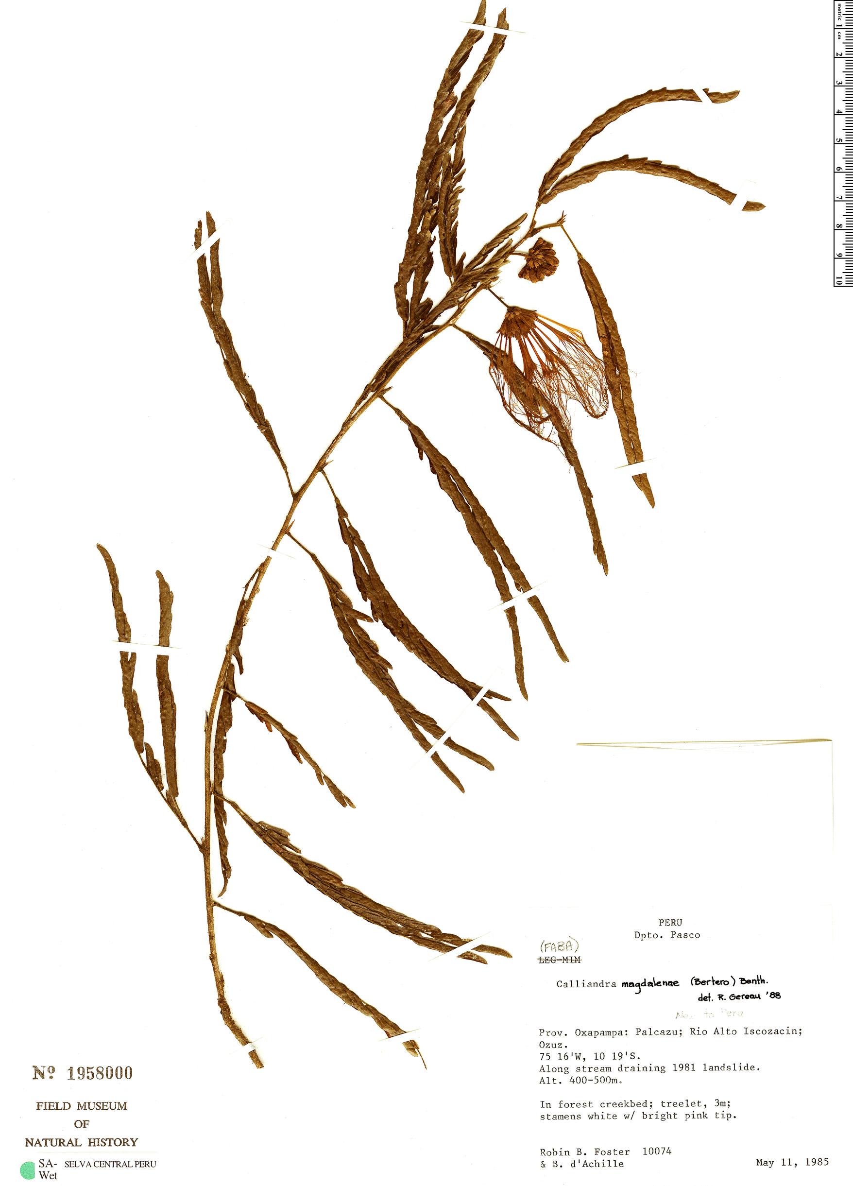 Specimen: Calliandra magdalenae