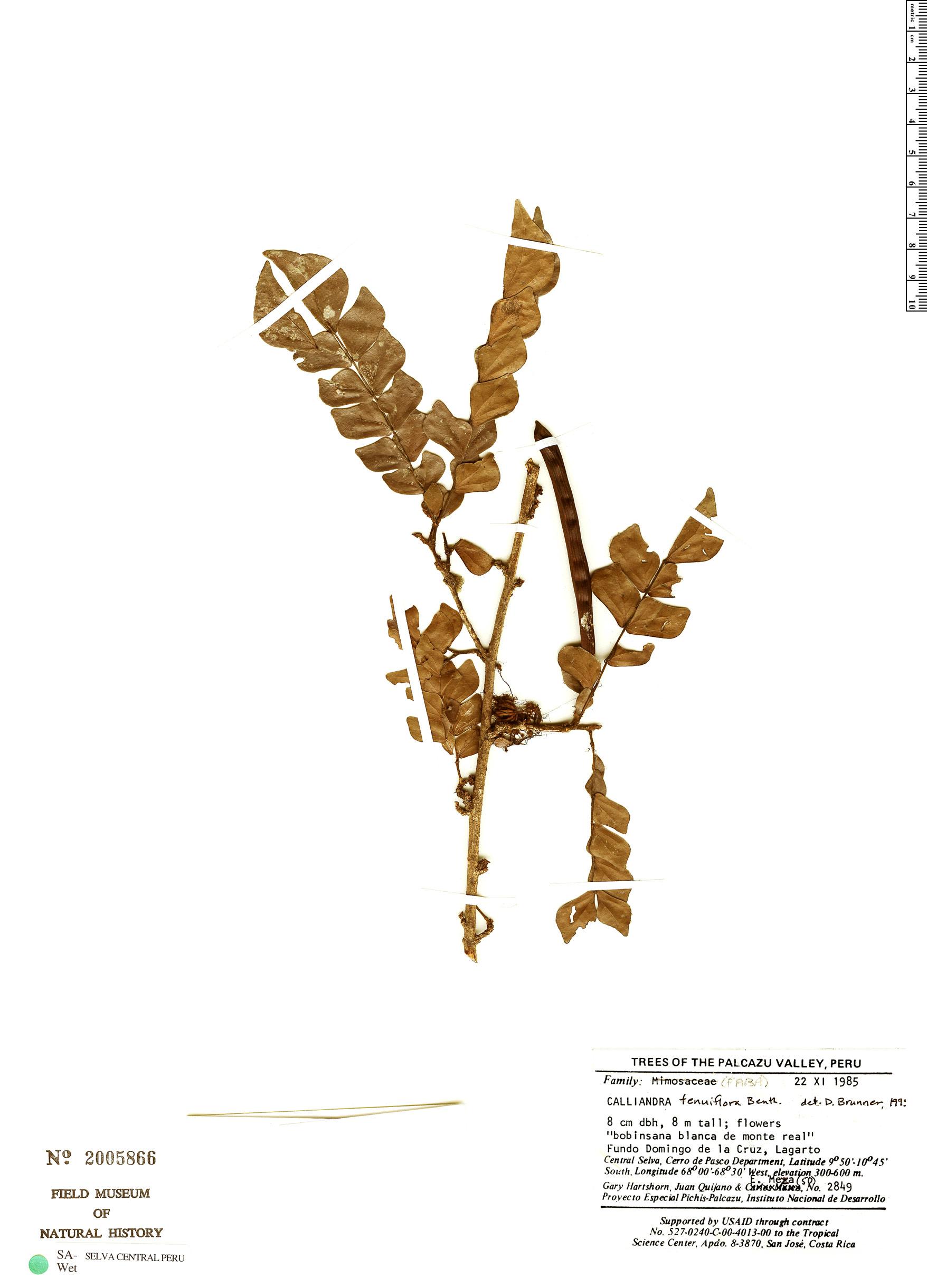Espécime: Calliandra tenuiflora