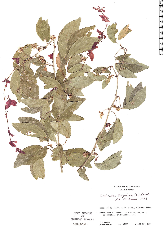 Specimen: Calliandra tergemina
