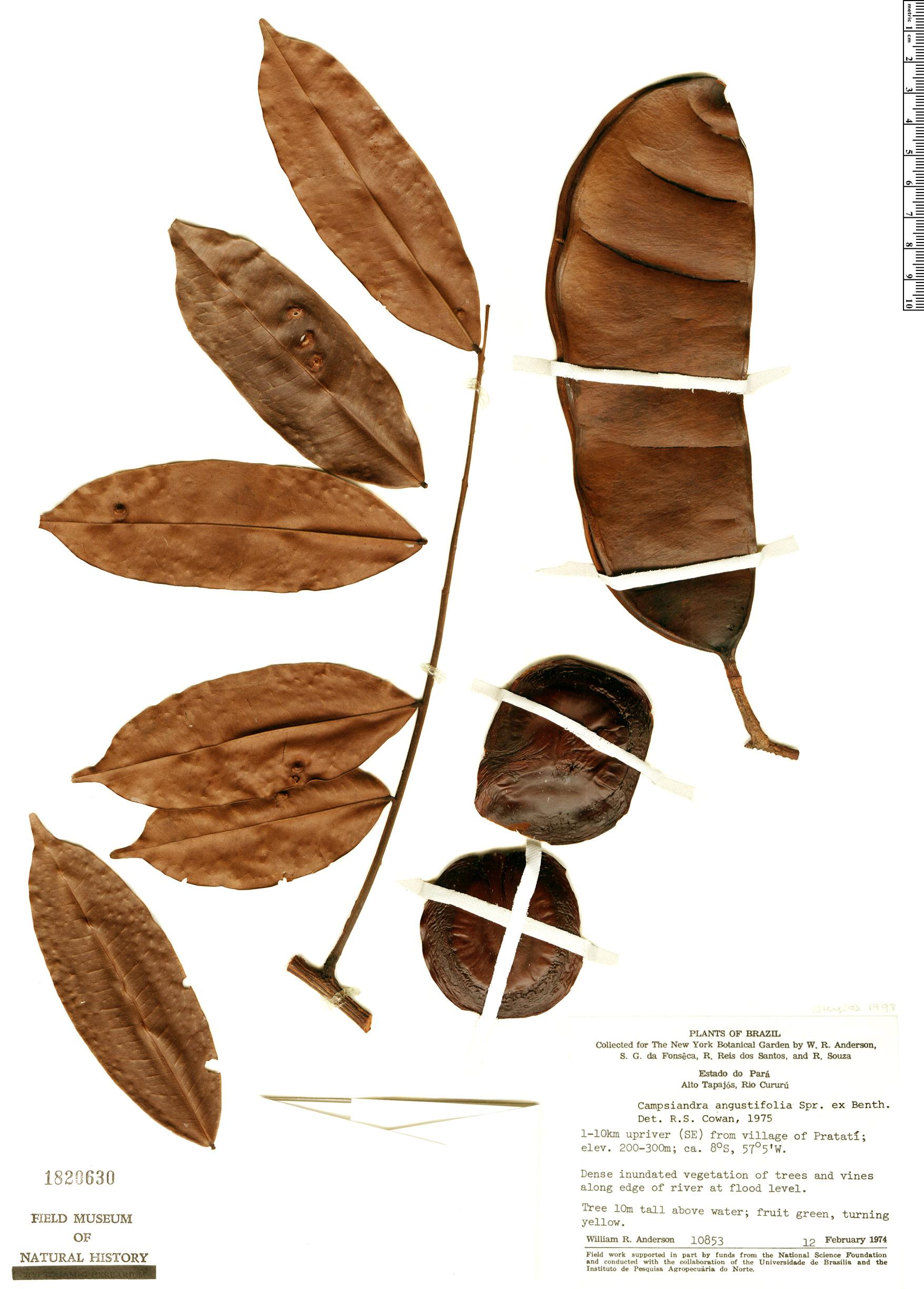 Specimen: Campsiandra angustifolia
